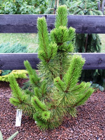 Pinus contorta 'Asher'