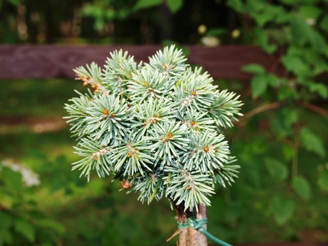 Picea engelmannii 'Taltbolt Lake'