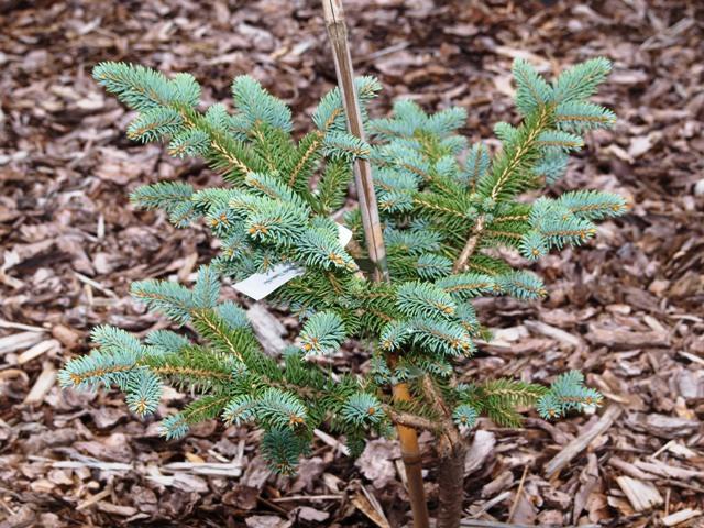 Picea engelmannii 'Thomschke'