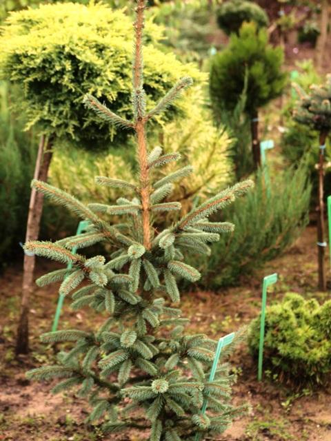 Picea engelmannii subsp. mexicana