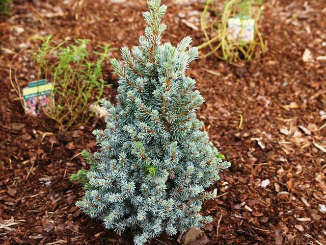 Picea glauca 'Alberta Blue'