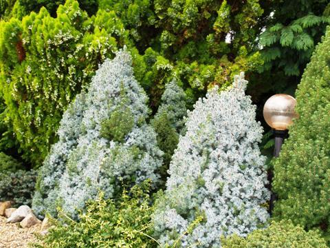 Picea glauca 'Arneson's Blue Variegated'