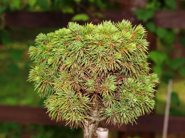 Picea glauca 'Baby'
