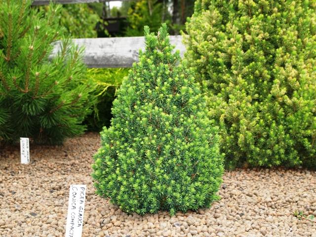 Picea glauca 'Conica Compacta'