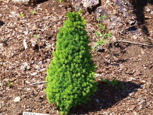Picea glauca 'Conica Sport'