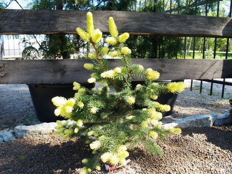 Picea pungens 'Maigold'