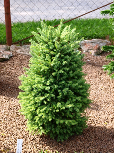 Picea glauca 'Pyramidalis'