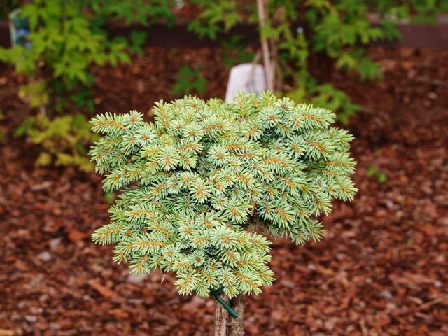 Picea glauca var. albertiana 'Albertiana W.B.'