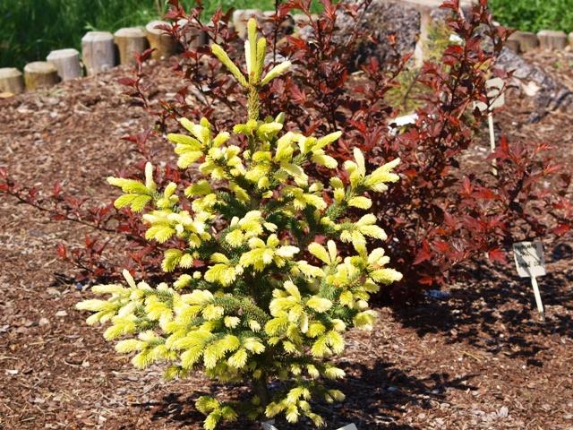 Picea glauca 'Walaszczyk'