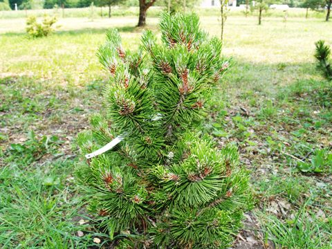 Pinus heldreichii 'Dolce Dorme'