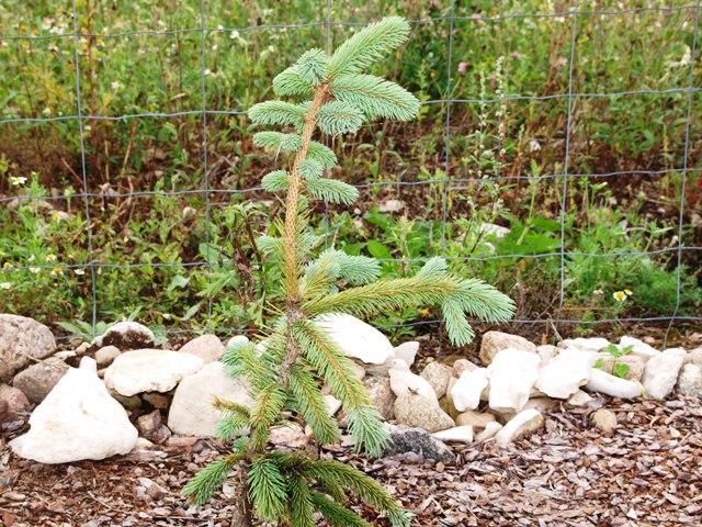 Picea engelmannii subsp. mexicana 'Pervana'