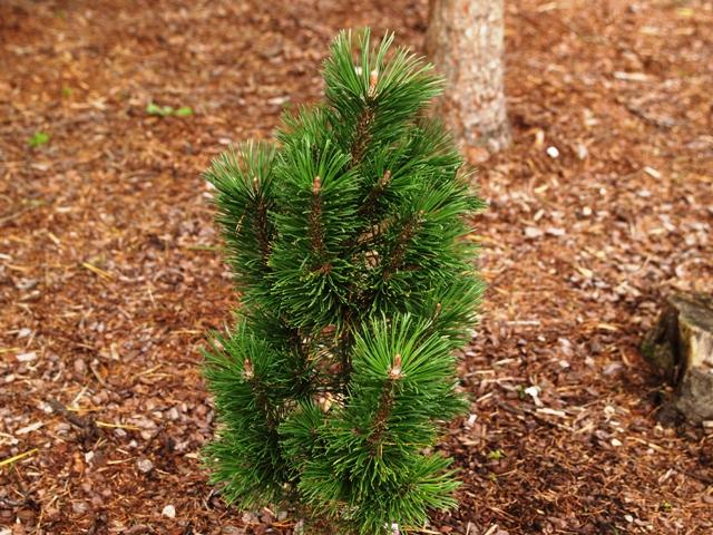 Pinus mugo 'Andrzej'