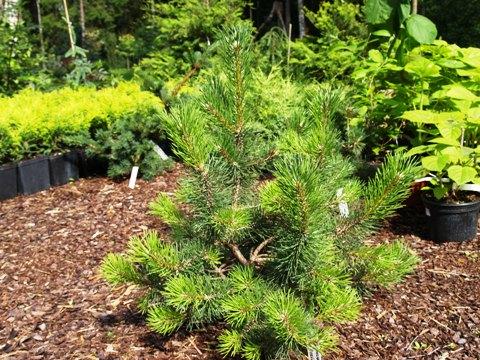 Pinus mugo 'Brevifolia'