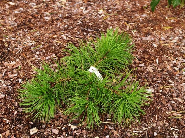 Pinus mugo 'Corley's Mat'