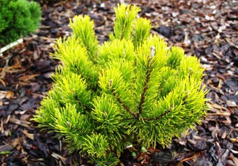 Pinus mugo 'Dezember Gold'