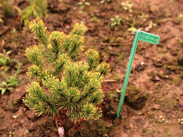 Pinus mugo 'Dikobraz'