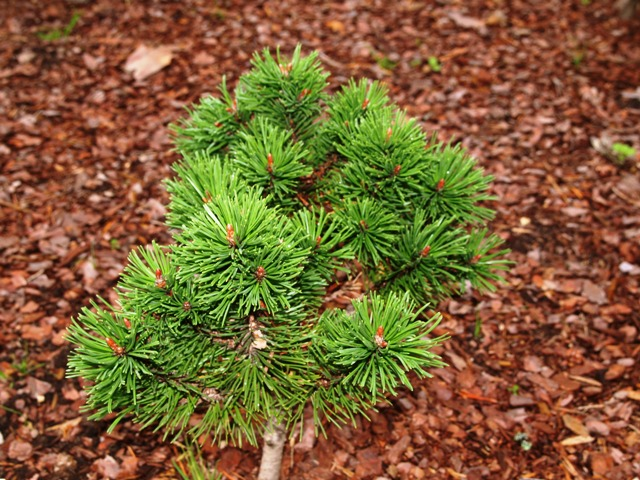 Pinus mugo 'Drakula'