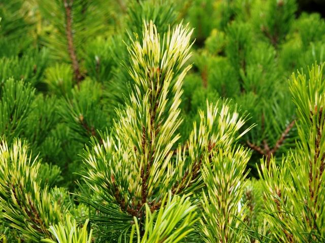 Pinus mugo 'Frühlingsgold'
