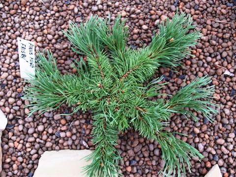 Pinus mugo 'Frisby'