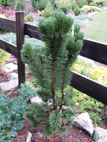 Pinus mugo 'Frisia'