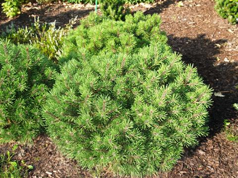 Pinus mugo 'Fructata'