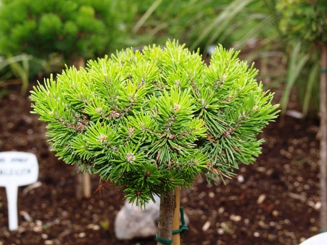 Pinus mugo 'Hardy'