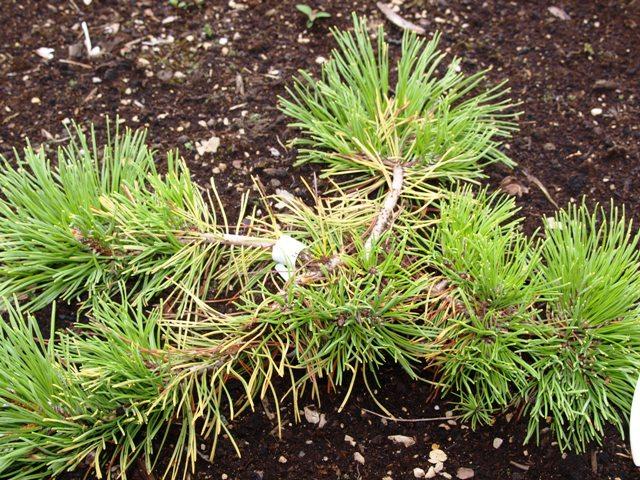 Pinus mugo 'Jalubi'