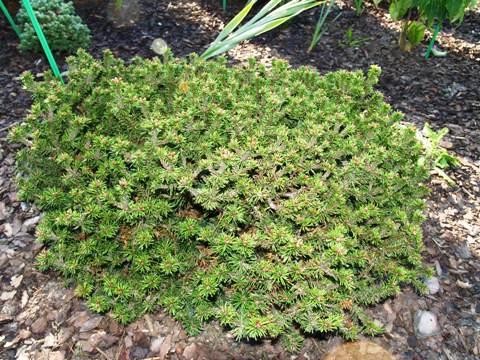 Pinus mugo 'Kissen Brevifolia'