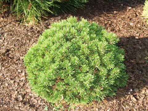 Pinus mugo 'Kleiner Prince'