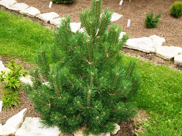 Pinus mugo 'Knapenburg'