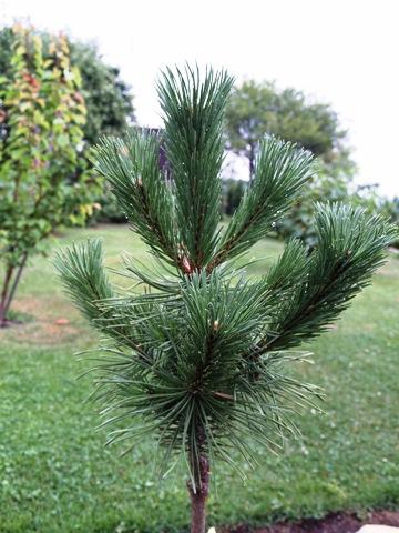 Pinus mugo 'Krakus'