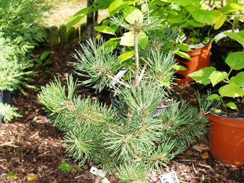 Pinus mugo 'Laurin'