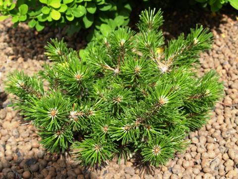 Pinus mugo 'Lindenau Bubika'