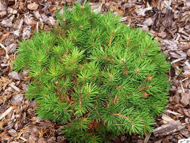 Pinus mugo 'Little Bud'