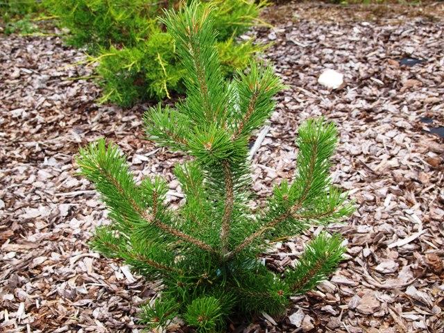 Pinus mugo 'Majela Cristata'