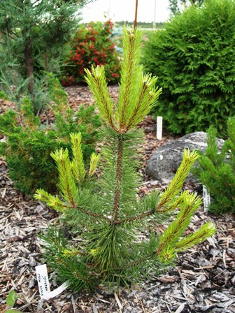 Pinus mugo 'Marand'