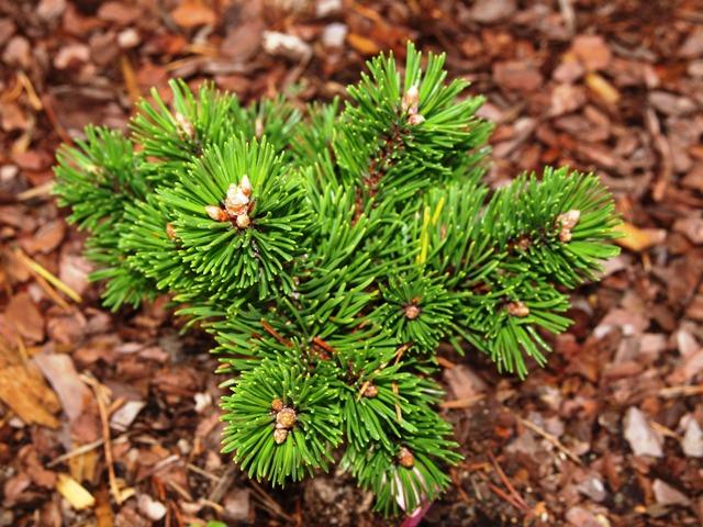 Pinus mugo 'Mars'