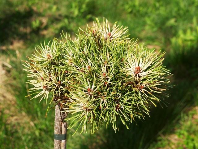 Pinus mugo 'Milky Way(Vereijken)'