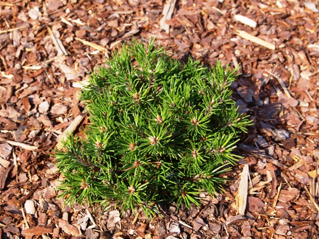Pinus mugo 'Mini Mini'
