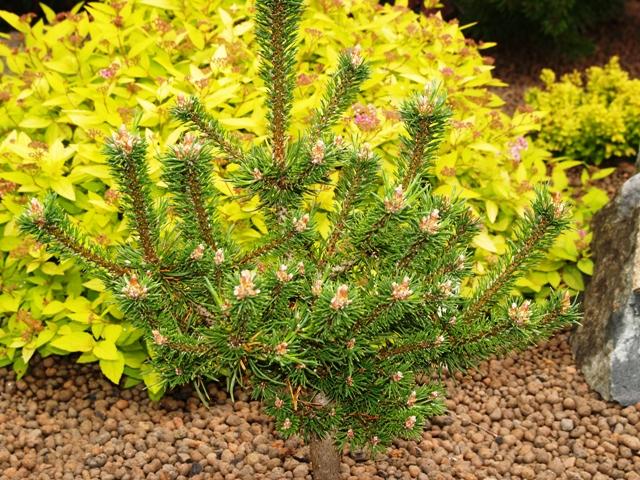 Pinus mugo 'Minima Kalouš'