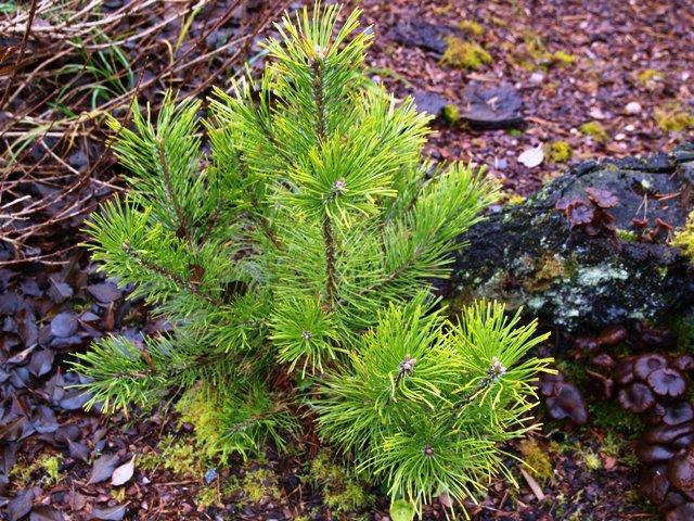 Pinus mugo 'Orange Show'