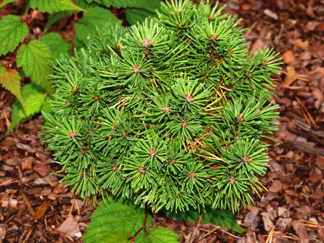 Pinus mugo 'Poseidon'