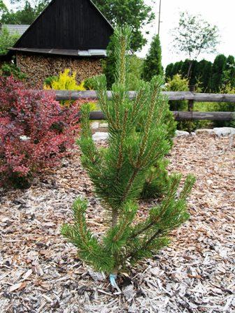 Pinus mugo 'Rigi'