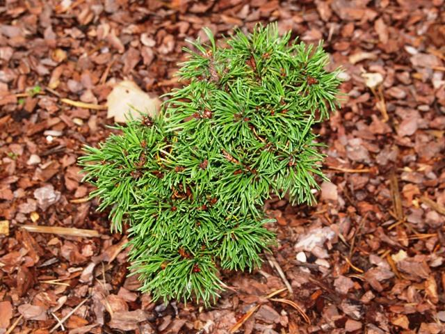 Pinus mugo 'Romulus'