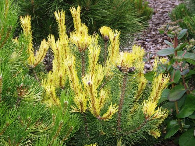 Pinus mugo 'Rositech'