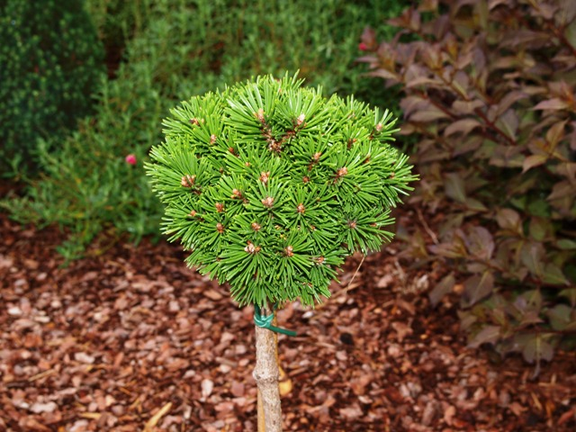Pinus mugo 'Suzi'