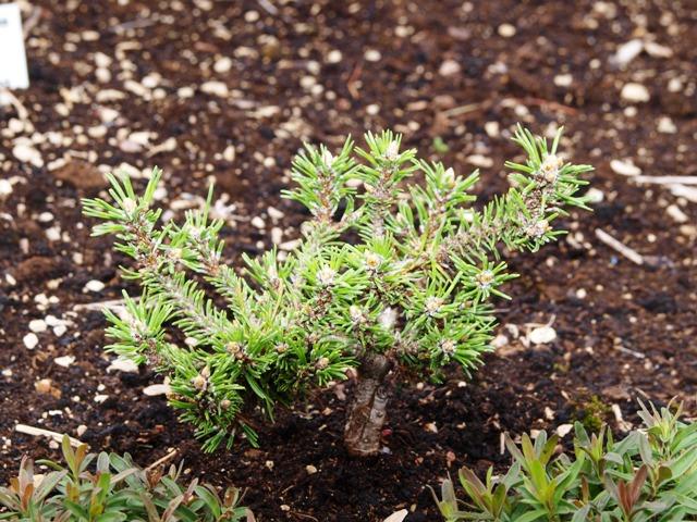 Pinus mugo 'Swiss Dwarf'