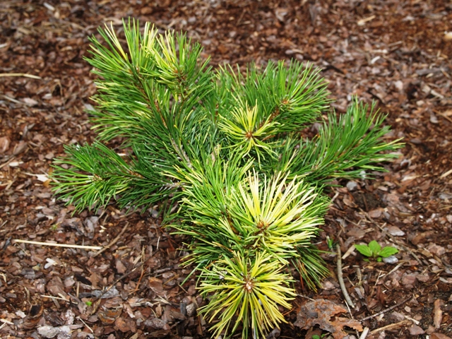 Pinus mugo 'Walaszczyk'