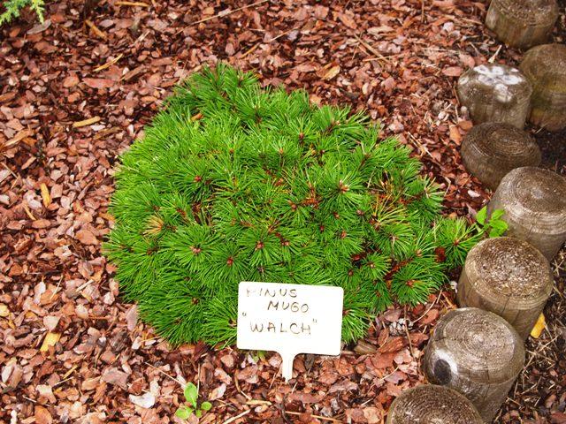Pinus mugo 'Walch'