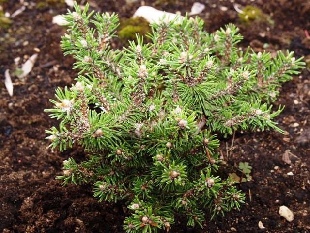 Pinus mugo 'White Tip'